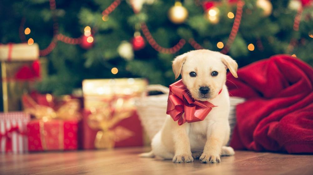 Christmas Hd Wallpaper Puppies Kitten Themes Hd Wallpapers Backgrounds Christmas Puppy Puppies New Puppy