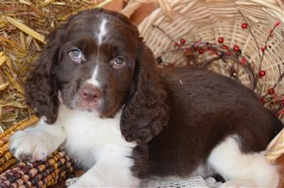 Pin By Bird Dog Hill Dog Kennel Ch On Birddoghill Dogs And Puppies English Springer Spaniel Puppies