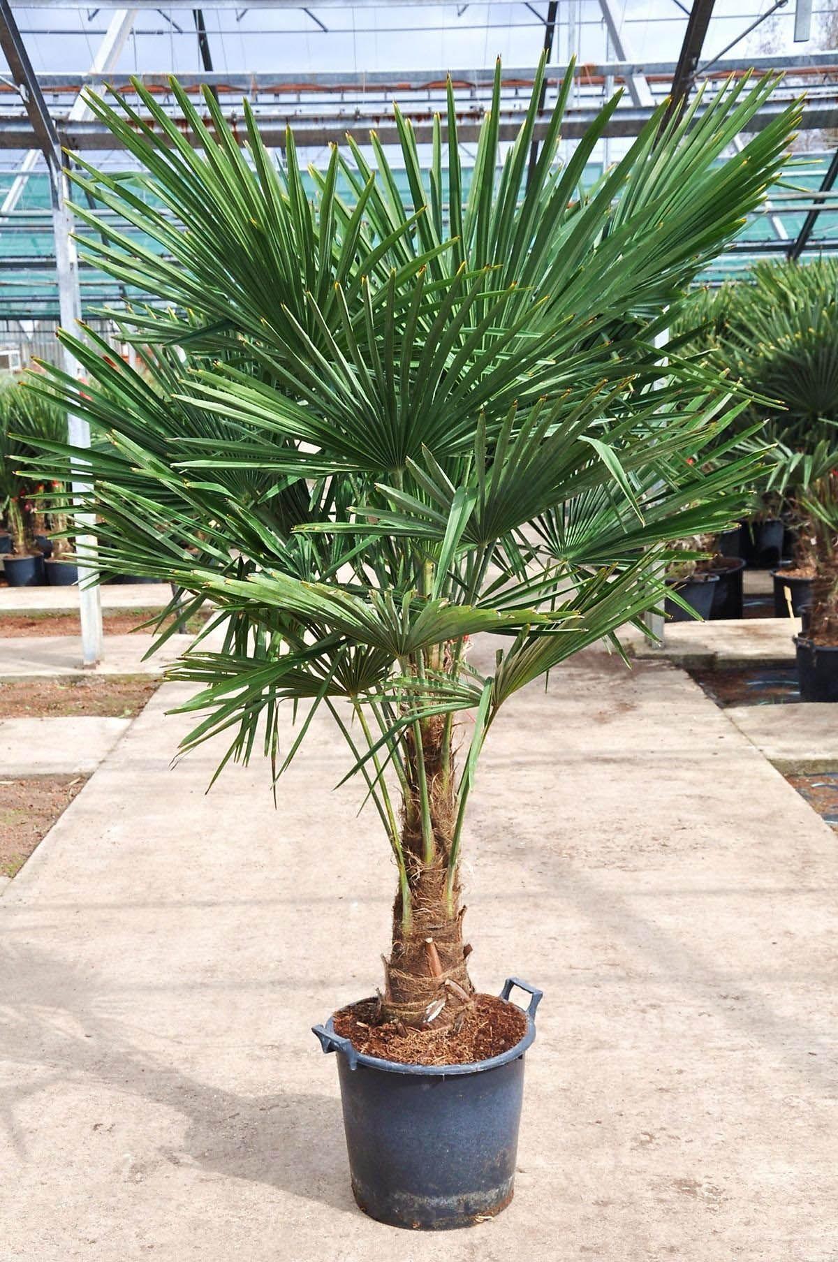 Hanfpalme Premium Fortunei Winterhart 40 50 Stamm Vorbestellungspreis Exotische Pflanzen Hanfpalme Palmen Garten