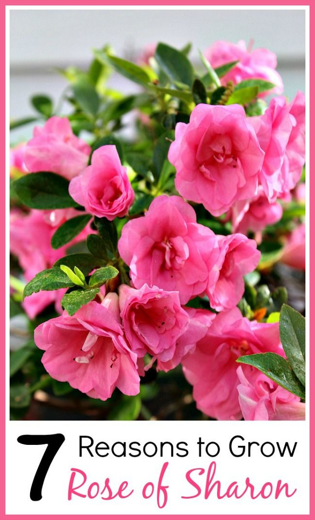 7 Reasons To Grow Rose Of Sharon Diy Ideas Garden Rose Of