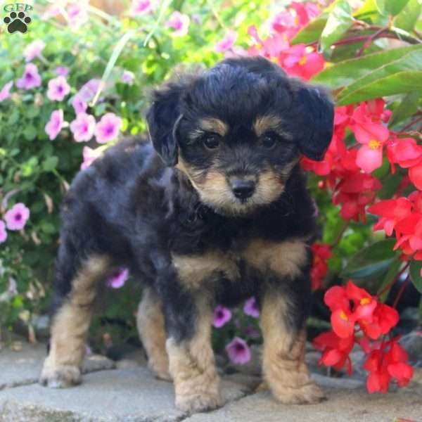 Marky Teddy Bear Puppy For Sale In Pennsylvania Puppies Teddy Bear Puppies Miniature Puppies