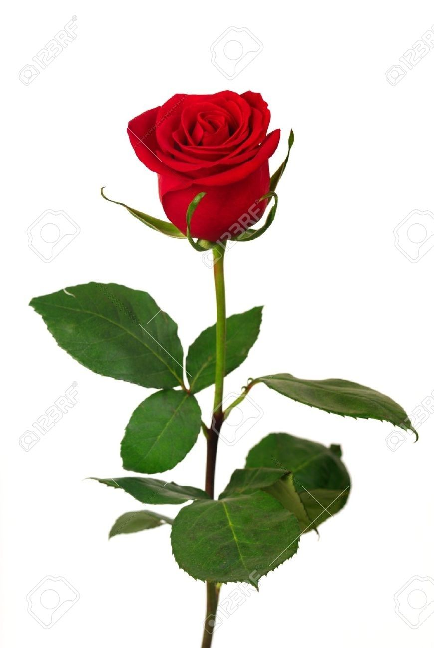 10 Top Single Red Rose Pictures Full Hd 1080p For Pc Desktop Red Rose Pictures Single Red Rose Rose Pictures