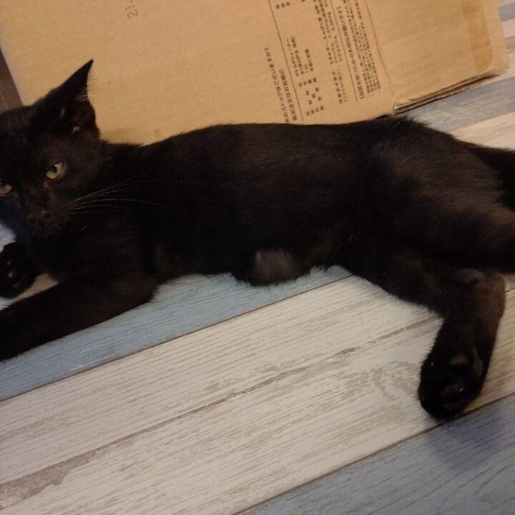 保護猫 でべそ 黒猫3ヶ月 子猫 猫 黒猫