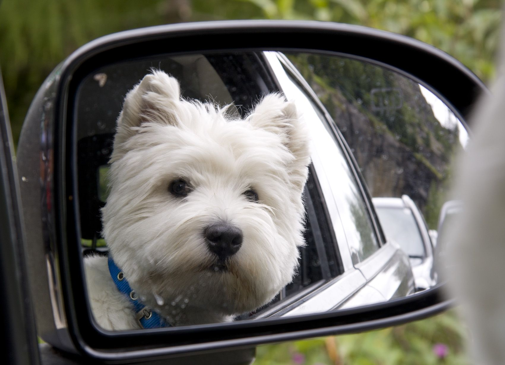 Image result for Westies dog, Long Car ride
