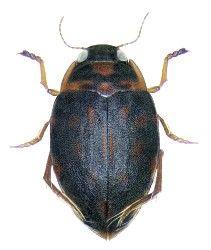 Dytiscidae Australische Region Insekten Tiere Lebewesen