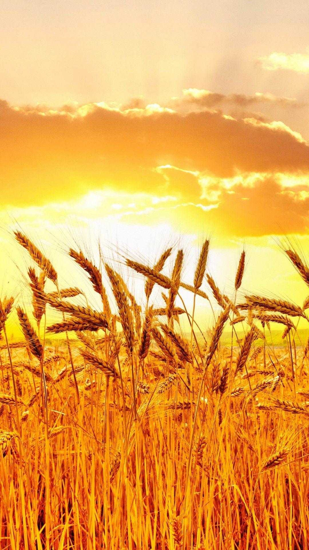 Golden Wheat Field At Sunset Wallpaper for SAMSUNG Galaxy ...
