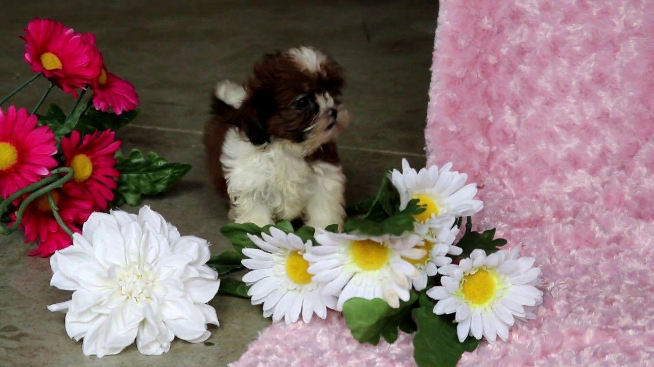 Jxqmgwcvadc shih tzu puppy puppies for sale shih tzu