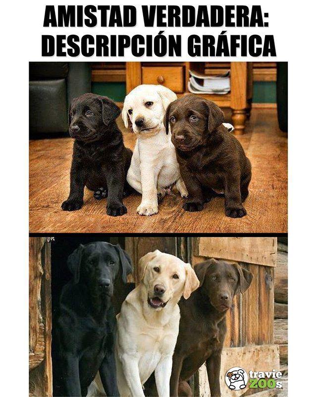 Los Mejores Amigos Son Los Que Estan Juntos Desde Pequenos Friends Amigos Dogs Labrador Cute Chistes De Perros Perros Frases Memes Perros