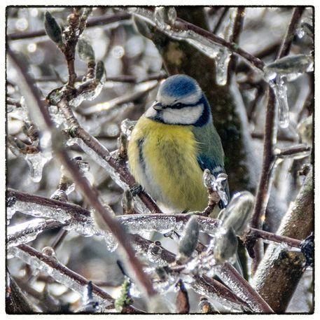 'Bird in the ice - Blaumeise' von Chris Berger bei artflakes.com als Poster oder Kunstdruck $16.99