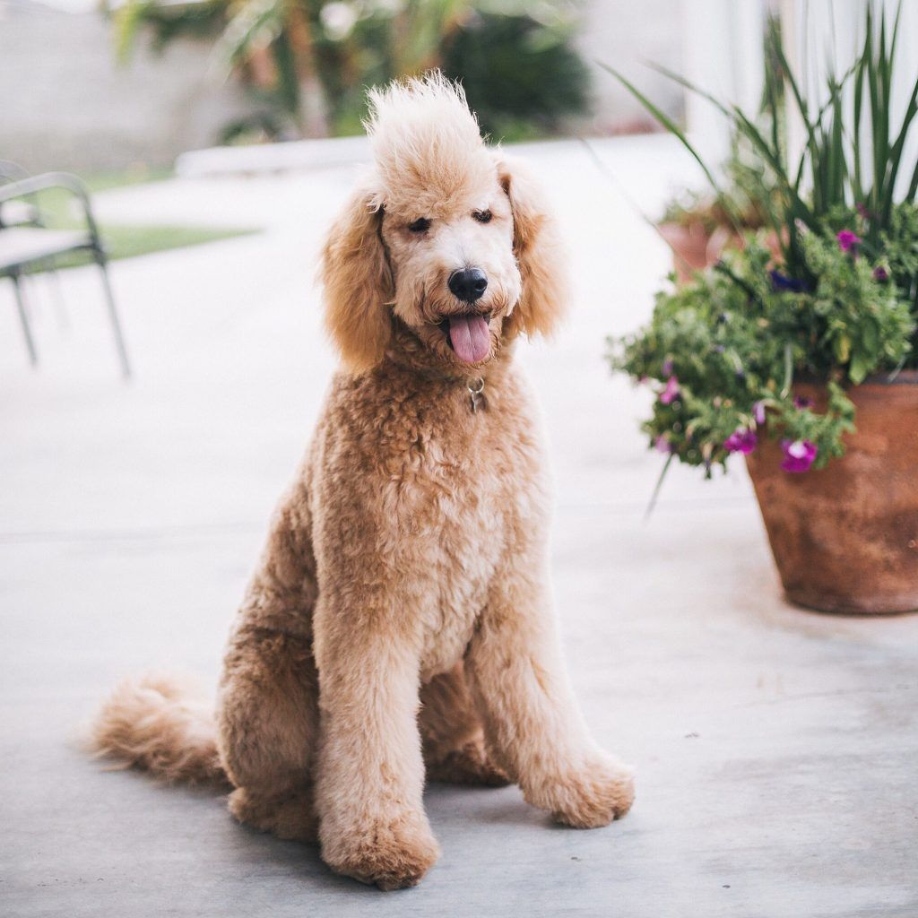 goldendoodle haircut my favorite dog doodle and best types of goldendoodle haircuts goldendoodle