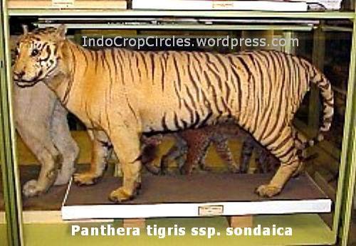 panthera tigris sondaica harimau jawa javan tiger year founded 1825