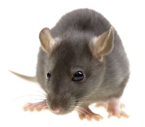 The house mouse and field mouse are the most common mice