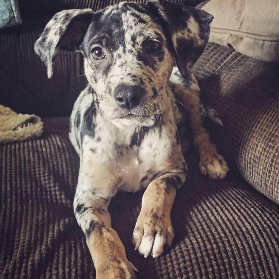 Our Achilles 3 9 Weeks Louisiana Catahoula Leopard Dog