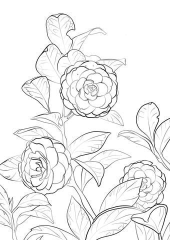 Japanese Camellia Coloring Page Coloring Books Coloring Pages