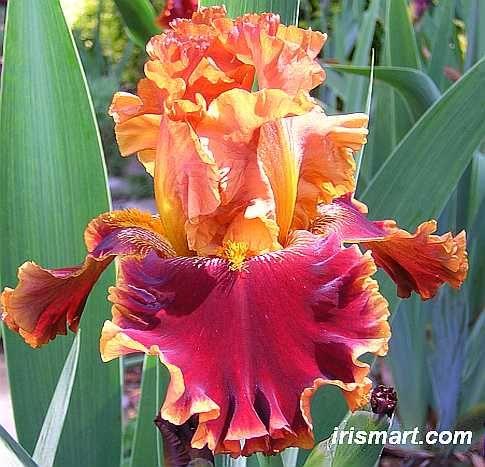 Copatonic Tall Bearded Iris Copatonic Bearded Irises For Sale Iris Flowers Iris Garden Flowers
