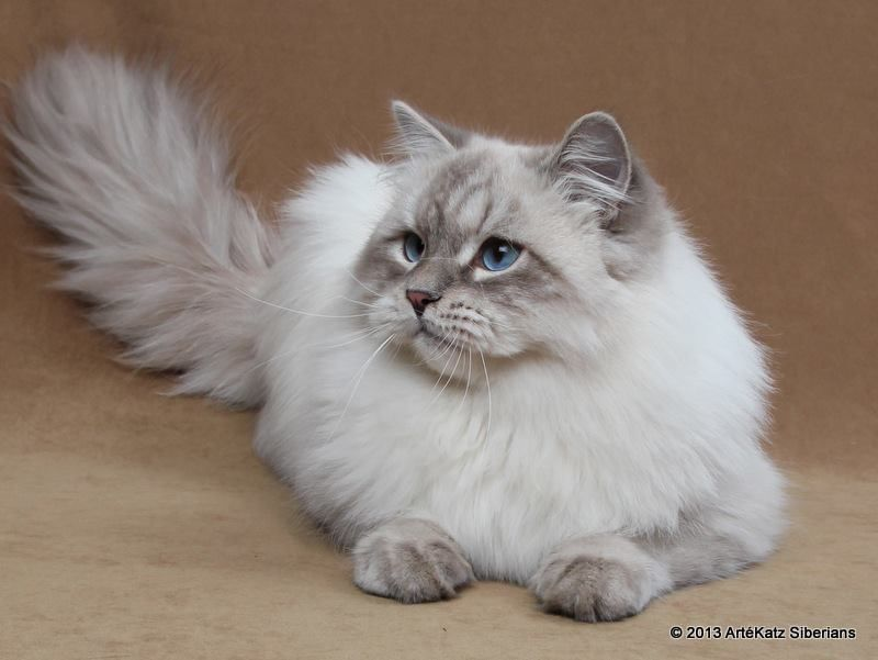 Siberian Cat Siberian Cat Gorgeous Cats Pretty Cats