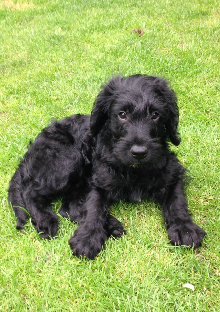 Miniature F1 Labradoodle Puppies | Stoke On Trent