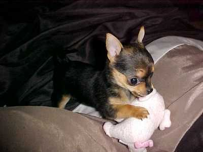 Chorkie Yorkie Chihuahua Mix Cute Dogs And Puppies Puppies And