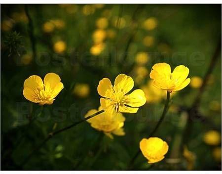 poster gelbe wiesenblumen anowi auf feld und wiese pinterest wiese blumen und wiesenblumen. Black Bedroom Furniture Sets. Home Design Ideas