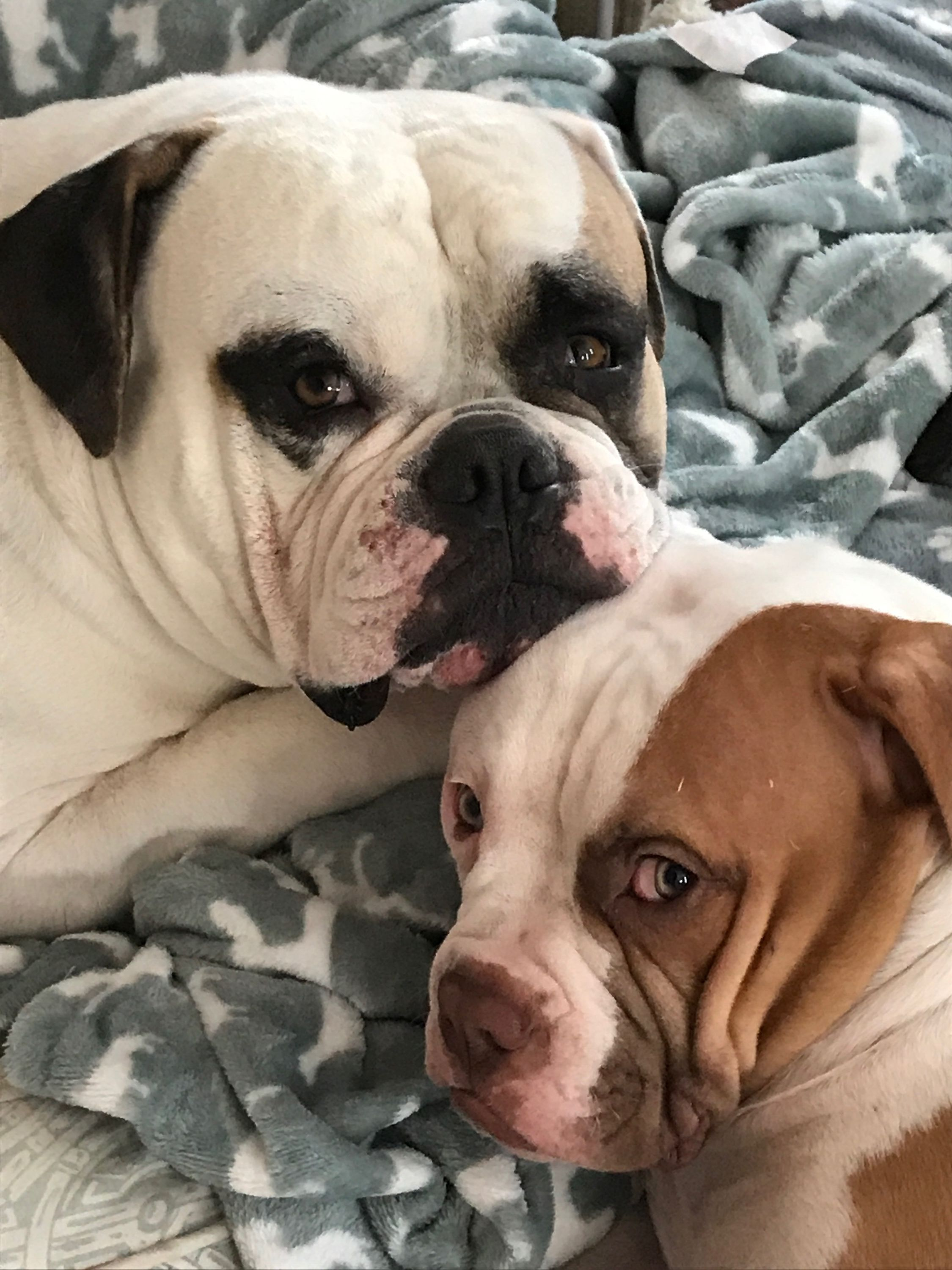 Father And Son Jango 4yrs And Jax 5 Months American Bulldogs American Bulldog Bulldog Animals