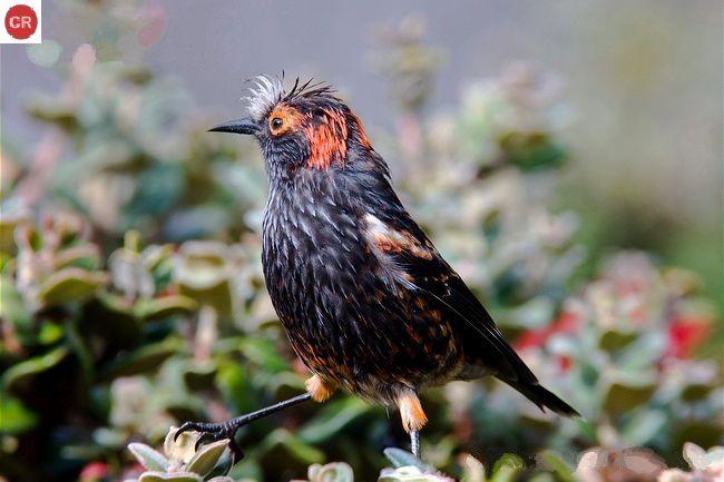 https://www.facebook.com/pages/THI%C3%8AN-NHI%C3%8AN-K%E1%BB%B2-TH%C3%9A/171150349611448 Chim hút mật mào ʻAkohekohe; Hawaiʻi | ʻAkohekohe/Crested honeycreeper (Palmeria dolei)(Fringillidae)(Palmeria) IUCN Red List of Threatened Species 3.1 : Critically Endangered (CR)(Loài cực kỳ nguy cấp)