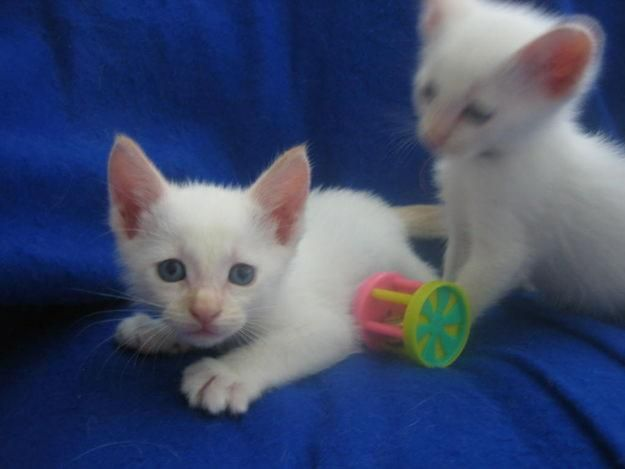 Siamese Are Born White And Develop Their Point As They Age Crazy
