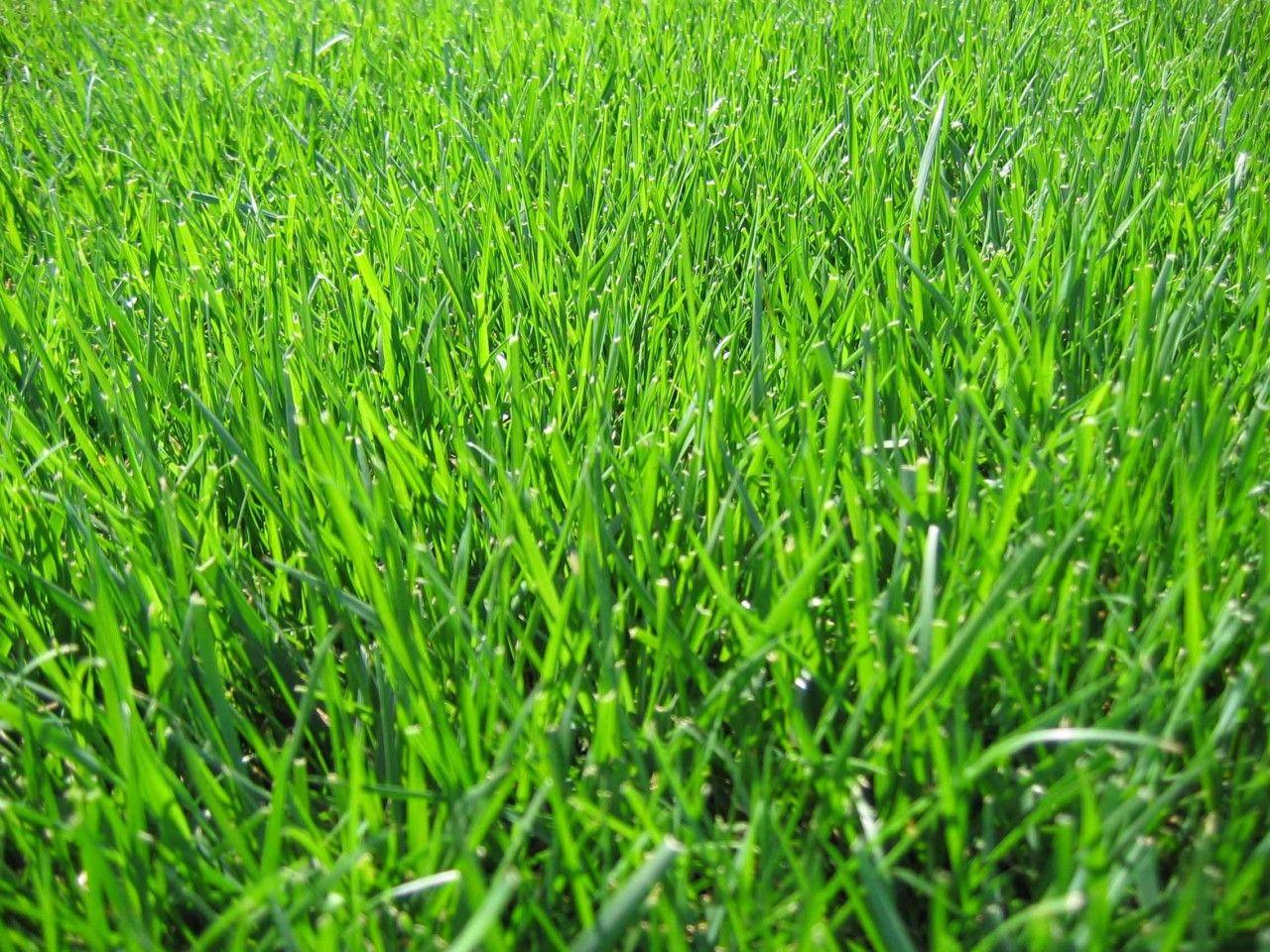 Bonsai 3000 Dwarf Fescue Drought Tolerant Grass Fescue Pool Landscaping
