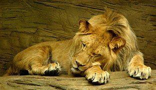 Leijona Nukkuminen