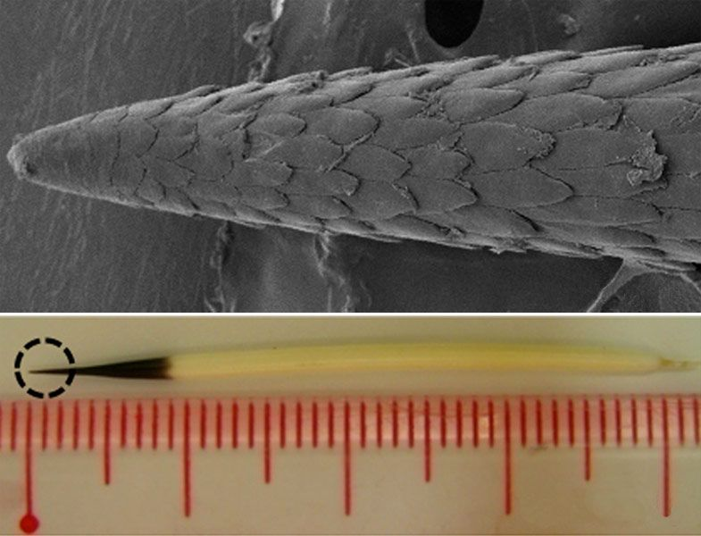 Sticky situation: The tiny barbs (top) coating the tips of the quills from North American porcupines (bottom) make it more difficult to extract a quill from flesh, but they also help the quill penetrate the flesh in the first place, a new study suggests.  Credit: Woo Kyung Cho