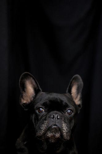 Enzo le Poo, French Bulldog