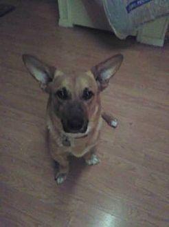 Corgi German Shepherd Dog Mix Dog For Adoption In Lomita California Corgi Shep Mix Shepherd Dog Mix Kitten Adoption Dog Adoption