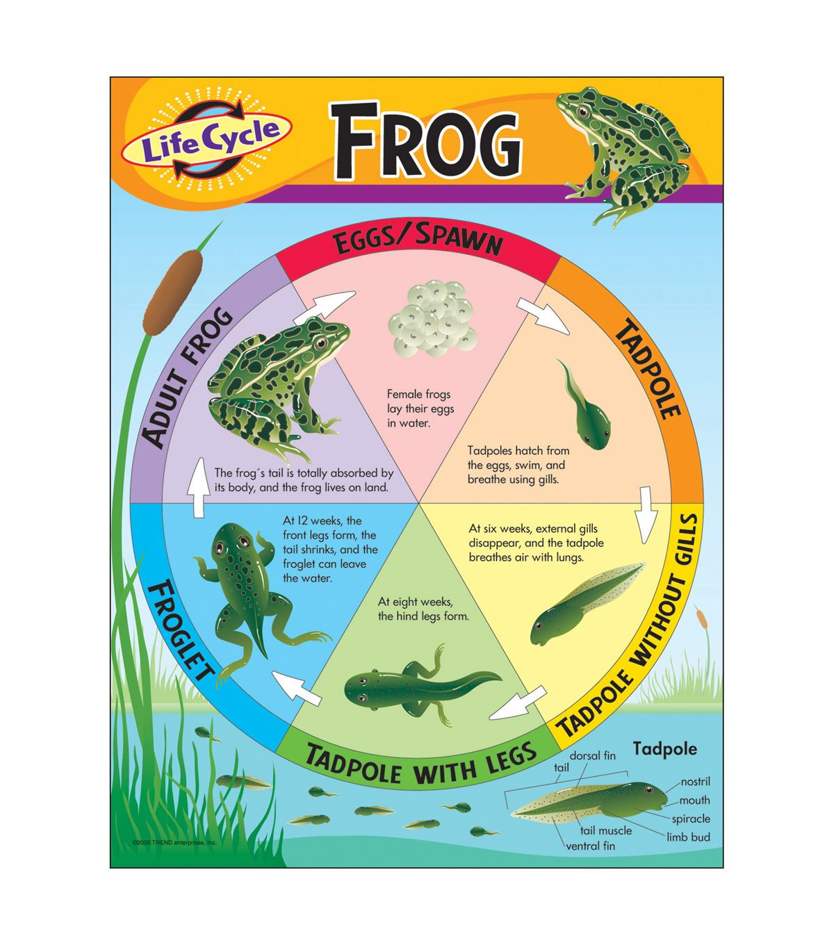 Life Cycle Of A Frog Learning Chart 17 X22 6pk