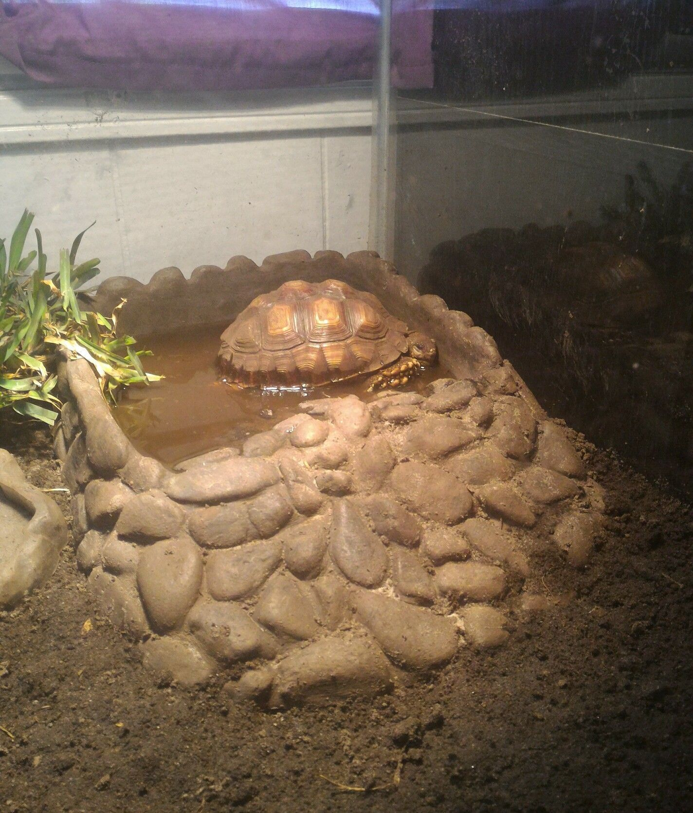 African spurred tortoise napping in his soaking tub tortoise