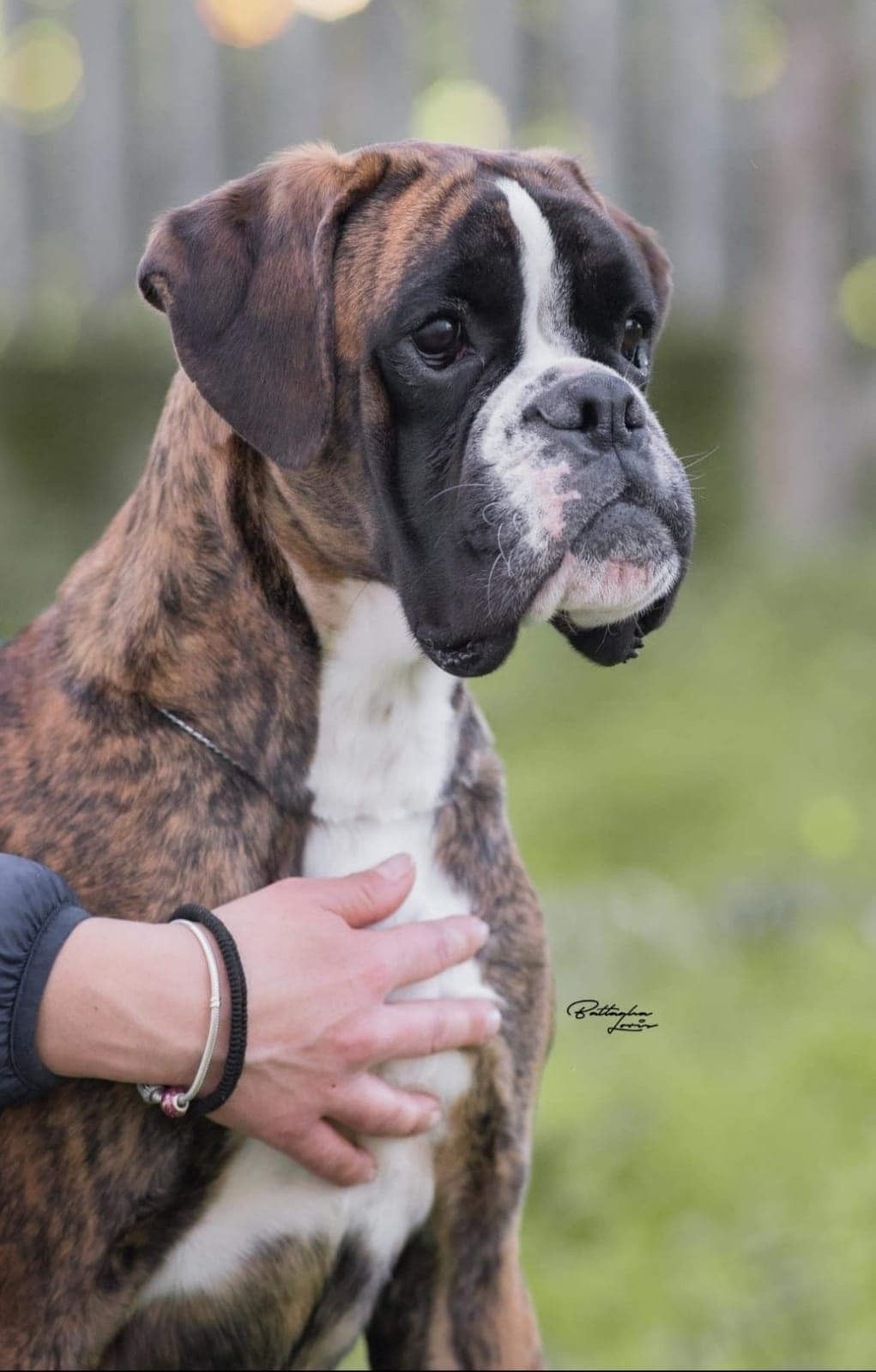 Pin By Patricia Buzzi On Boxers Love Boxer Dogs Boxer Dogs Funny Boxer Puppies