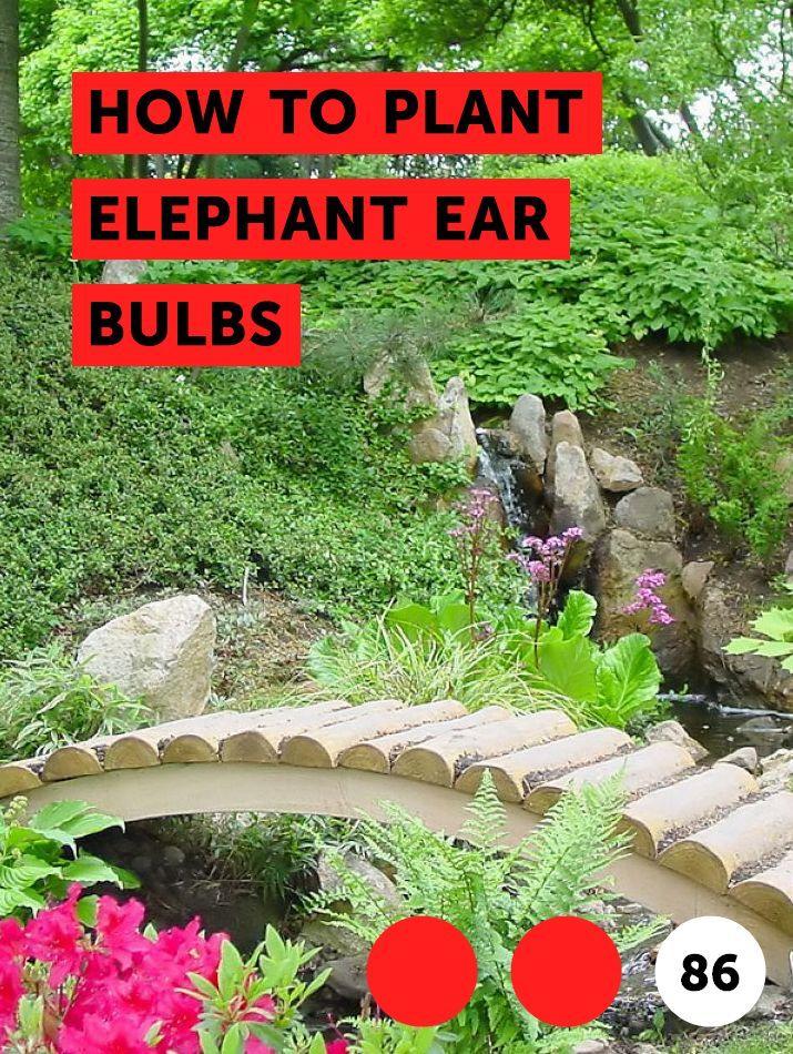 How To Plant Elephant Ear Bulbs Flower Garden Plants