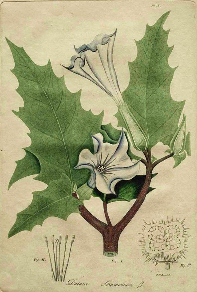 [Jacob+Bigelow.+American+Medical+Botany.+1817.+Datura+stramonium+(thorn+apple).jpg]