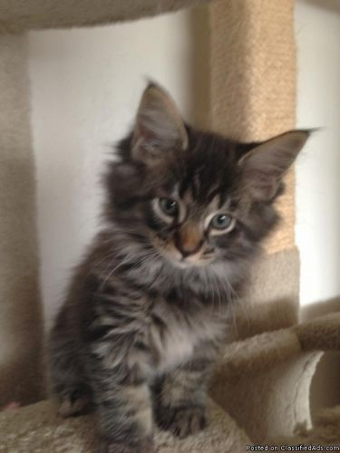 Maine Coon Kittens San Diego : maine, kittens, diego, KITTENS,, Inspired, Kittens