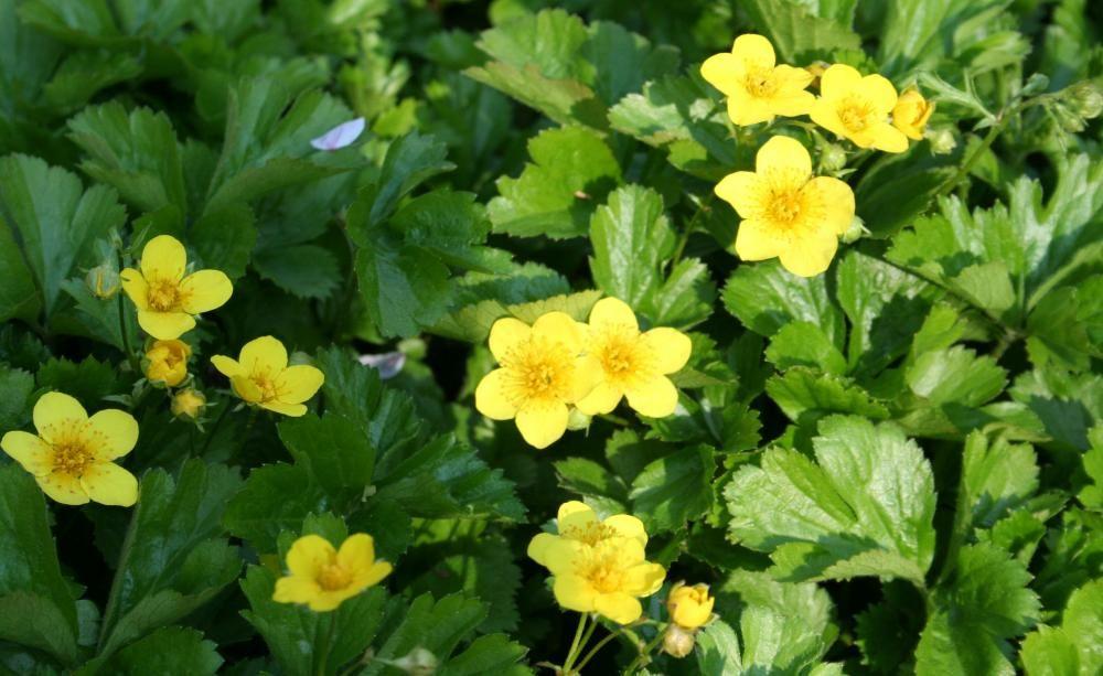 Bodendecker Für Schattige Standorte Bodendecker Vinca Minor Garten