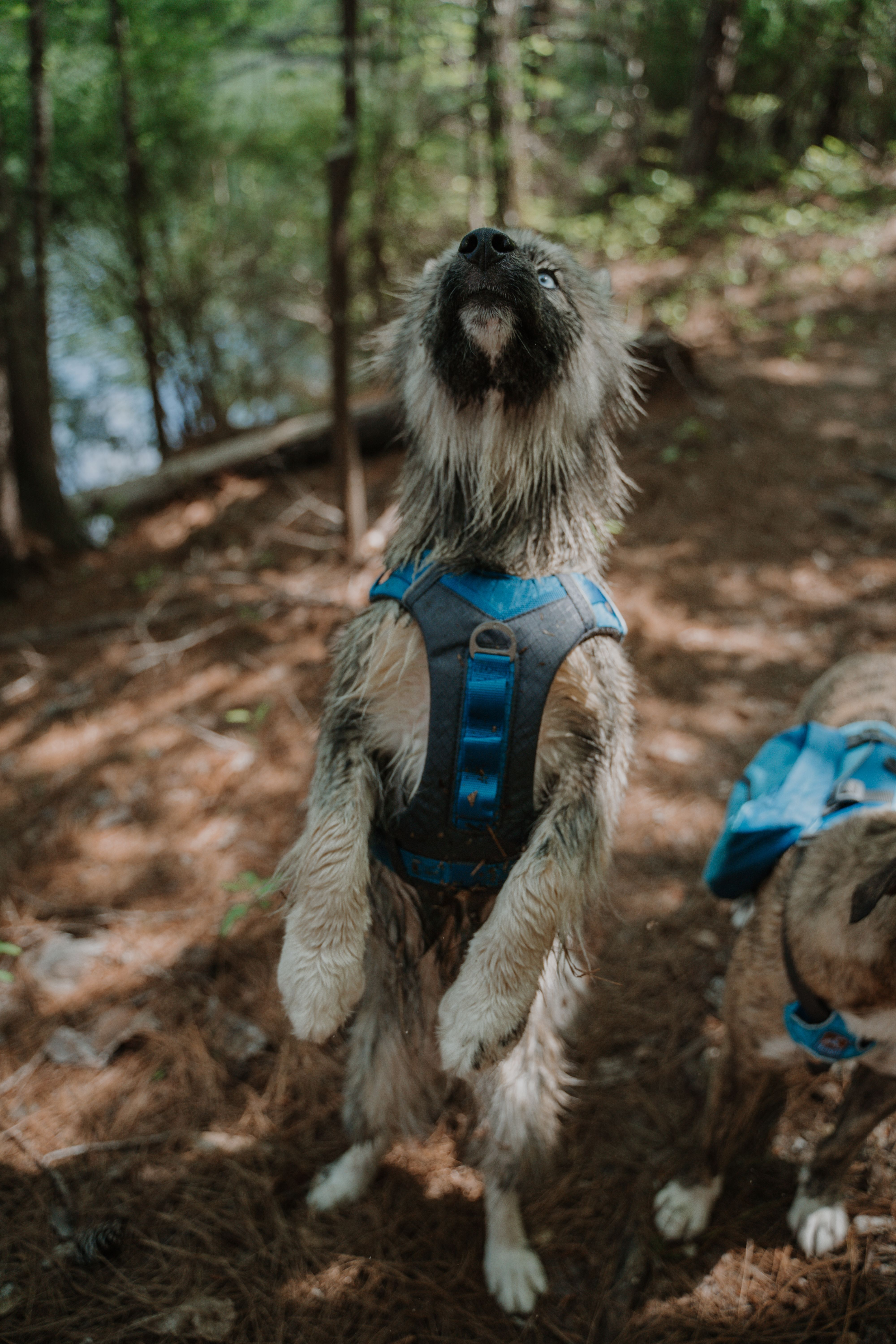 Journey Air Dog Harness Dog Harness Hiking Dogs Dog Activities