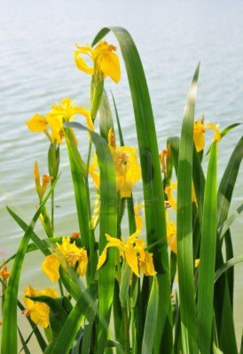 Yellow iris Plants, Iris, Garden