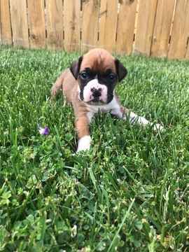 Litter Of 9 Boxer Puppies For Sale In Sterling Heights Mi Adn