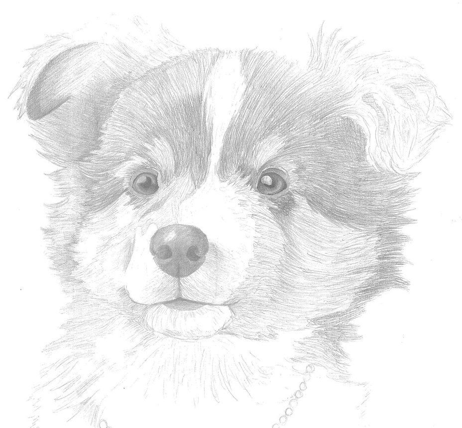 Australian Shepherd Puppy By Aussie0 On Deviantart Puppy Sketch Cartoon Dog Drawing Australian Shepherd