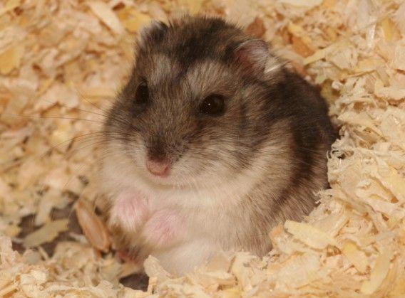 6 Types Of Most Popular Hamster Breeds Hamster Hamster Breeds Russian Hamster