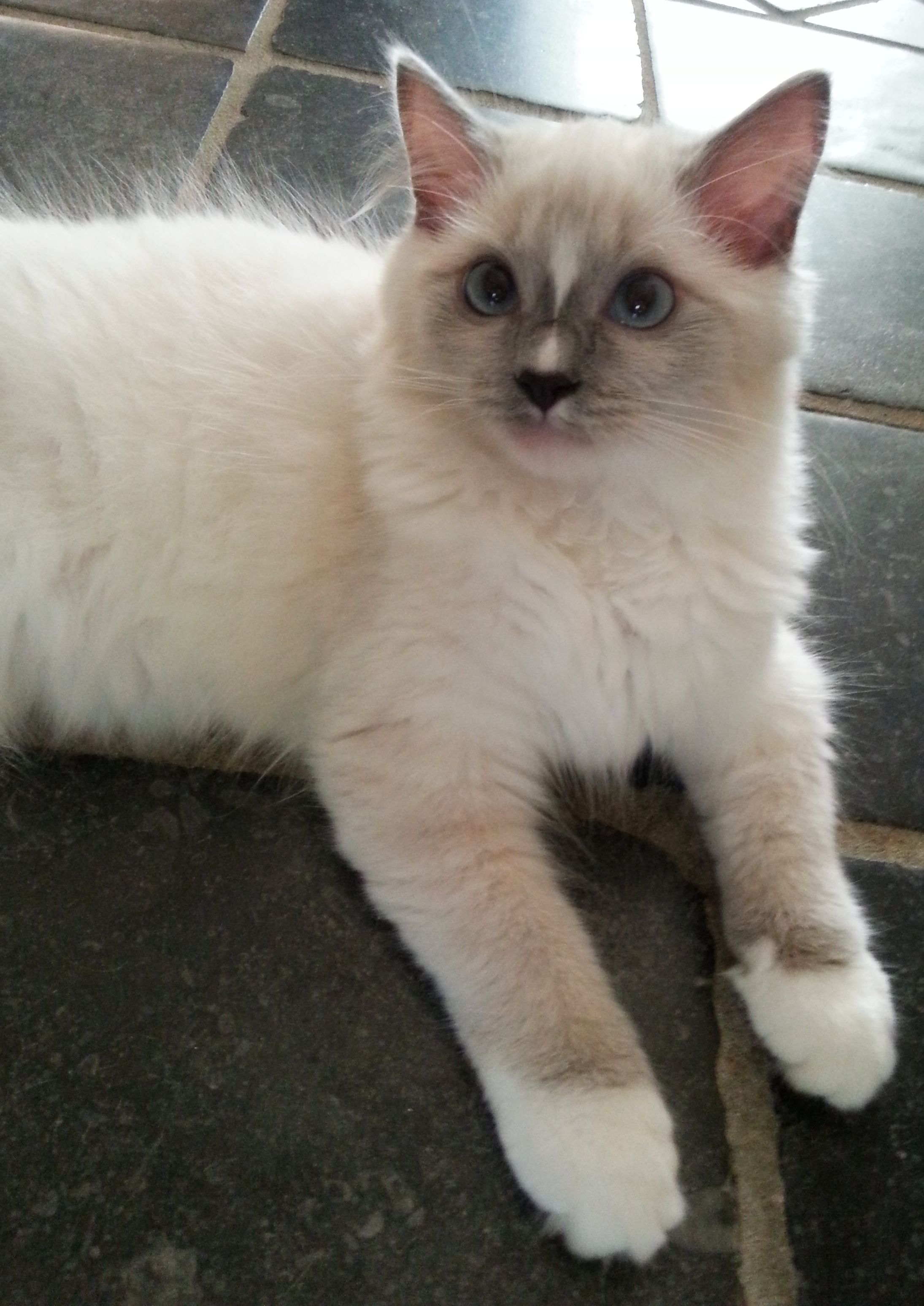 Blue mitted ragdoll kitten with blaze / Darling face | www ...