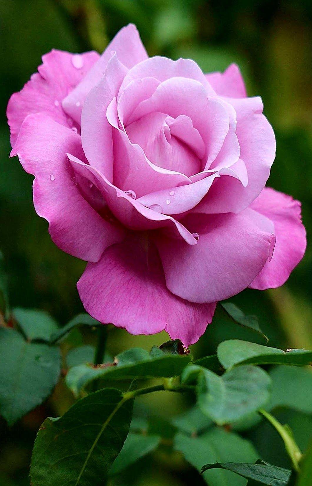 бумеранг, фотографии про розы такого букета