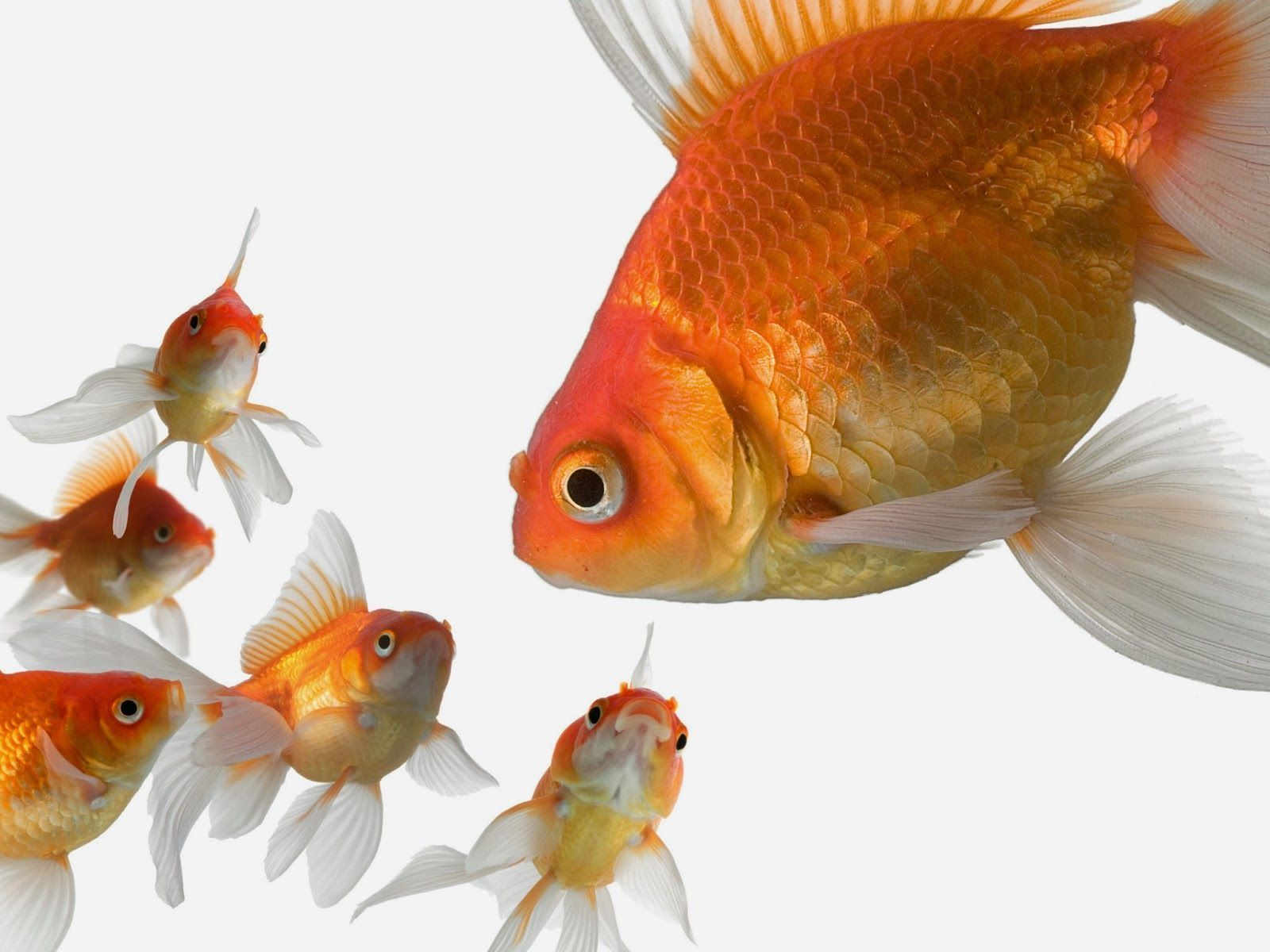 Gold Fish Wallpapers Wallpaper Cave Goldfish Goldfish Wallpaper Fish Wallpaper