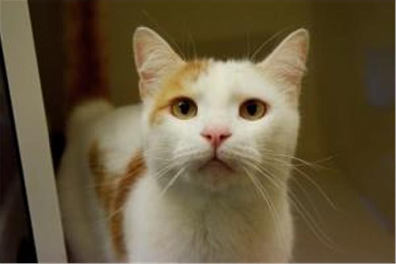 Bick Ready For Adoption Cat Adoption Adoption Cats