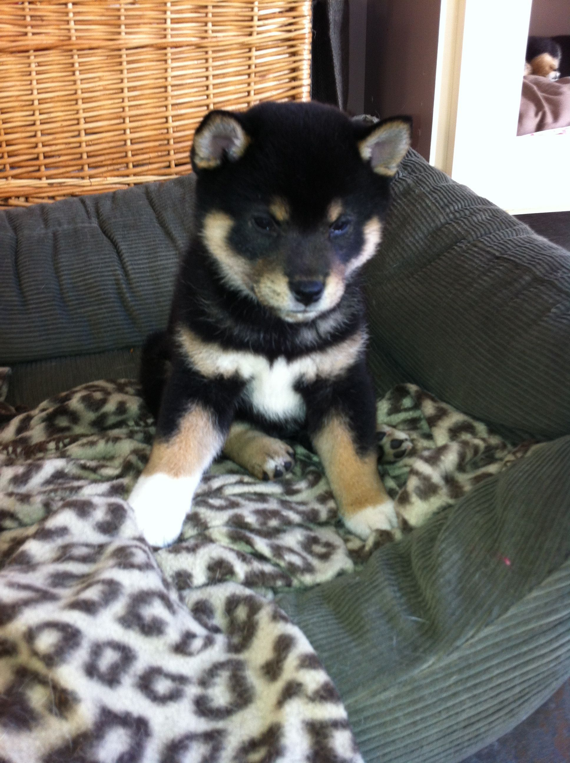 6 Week Old Black And Tan Shiba Inu Possibly The Cutest Pups Ever Cute Puppies Cute Animals Animals