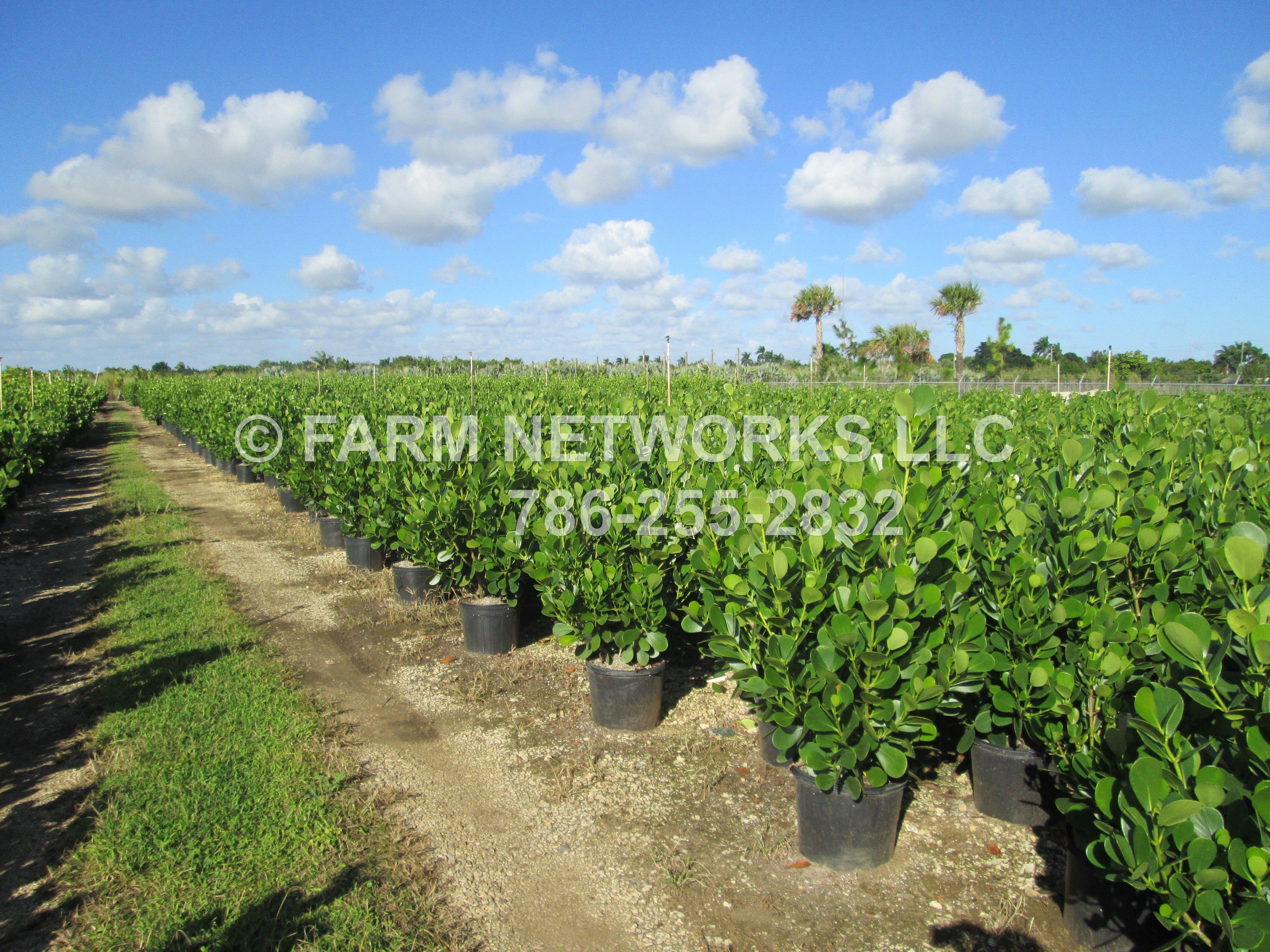 Pin by Farm Networks LLC on 3 Gallon Small Leaf Clusia
