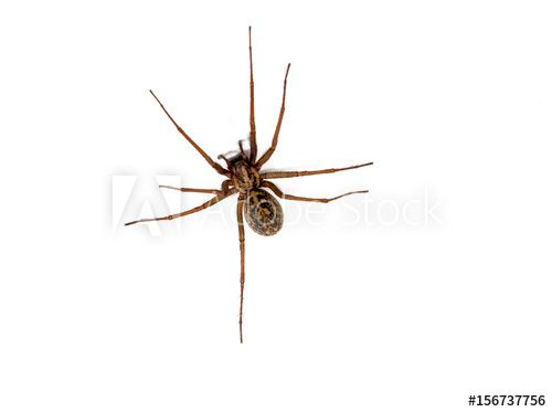 Hobo spider (Eratigena agrestis) against a white background, British Columbia, Canada - Buy this stock photo and explore similar images at Adobe Stock